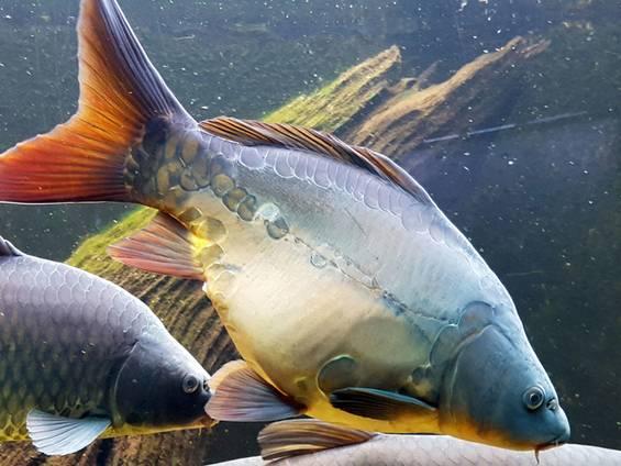 Fischteich pachten oder kaufen; Spiegelkarpfen; Foto: susana1973/ fotolia.com