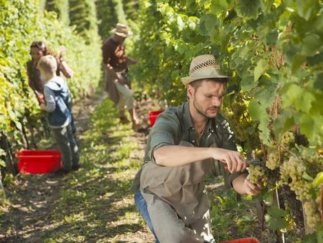 Weingut kaufen, finanzielles Polster, Personal, Erntehelfer, Foto: iStock/ tomazl