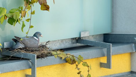 Nistende Taube auf einem Balkon, Foto: Stanislav-Duben / stock.adobe.com
