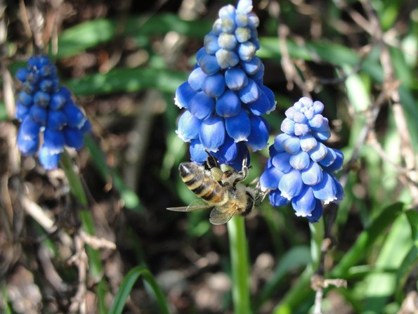 Bienennest, Biene, blaue Blume, Foto: Alexandra Potthof