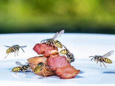 Wespennest, Wespen fressen ein Stück Fleisch, Foto: Rainer Furhmann / stock.adobe.com