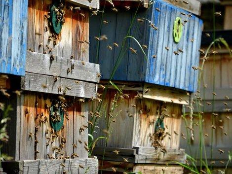 Schrebergarten, Kleingarten, Haustiere, Bienenhaltung im Garten, Foto: iStock.com/beekeepx