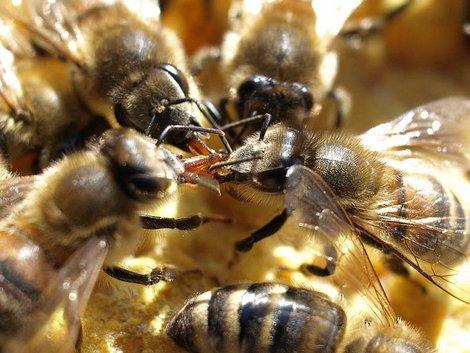 Bienennest, Biene, Futteraustausch, Foto: imkerei-schwarz.de
