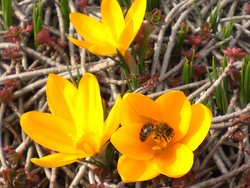 Bienennest, Biene, Krokus, Foto: Imkermeister Hans Rosen/imkerei-rosen.de