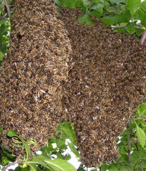 Bienennest, Bienenschwarm, Biene, Foto: Imkermeister Hans Rosen/imkerei-rosen.de