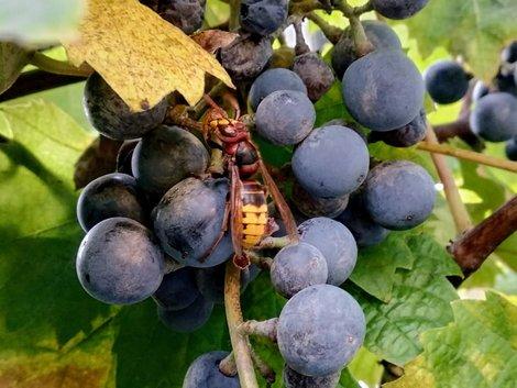 Hornissennest, Hornisse sitzt in einer Rebe Wein, Foto: Alexandra Muckelbauer