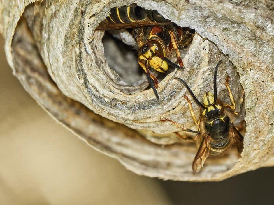 Wespennest, Wespen beim Nestbau, Foto: Knippser/stock.adobe.com