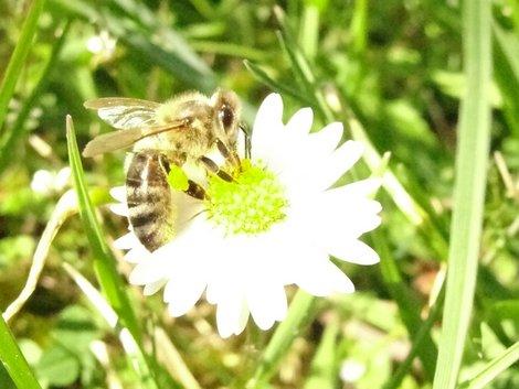 Bienennest, Arbeitsbienen, Foto: Alexandra Potthof