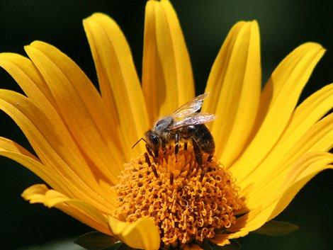 Bienennest, Biene, gelbe Blume, Foto: Imkerei Kasper/imkerei-kasper.de